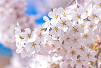 桜アロマと春の食材~季節の変化に順応し多幸感を味わう~