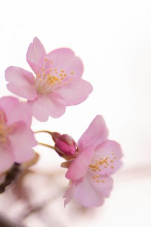 桜アロマのお話~人生を100%楽しめますように~